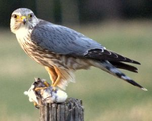 A merlin. Definitely not rubbish, especially if you like eating partridge. Photo by Just A Prairie Boy